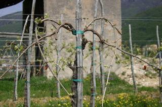 Heart shaped Prosecco vine