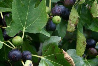 Fig Abundance