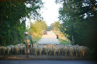 Franceso Monni's sheep