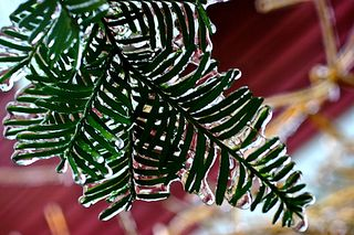 Frozen Evergreen