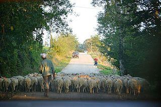 Fracesco Monni's sheep