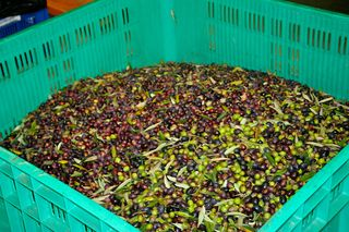 Olives at the Mill