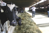 Cow_barn
