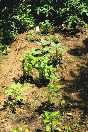 Herb_garden_2