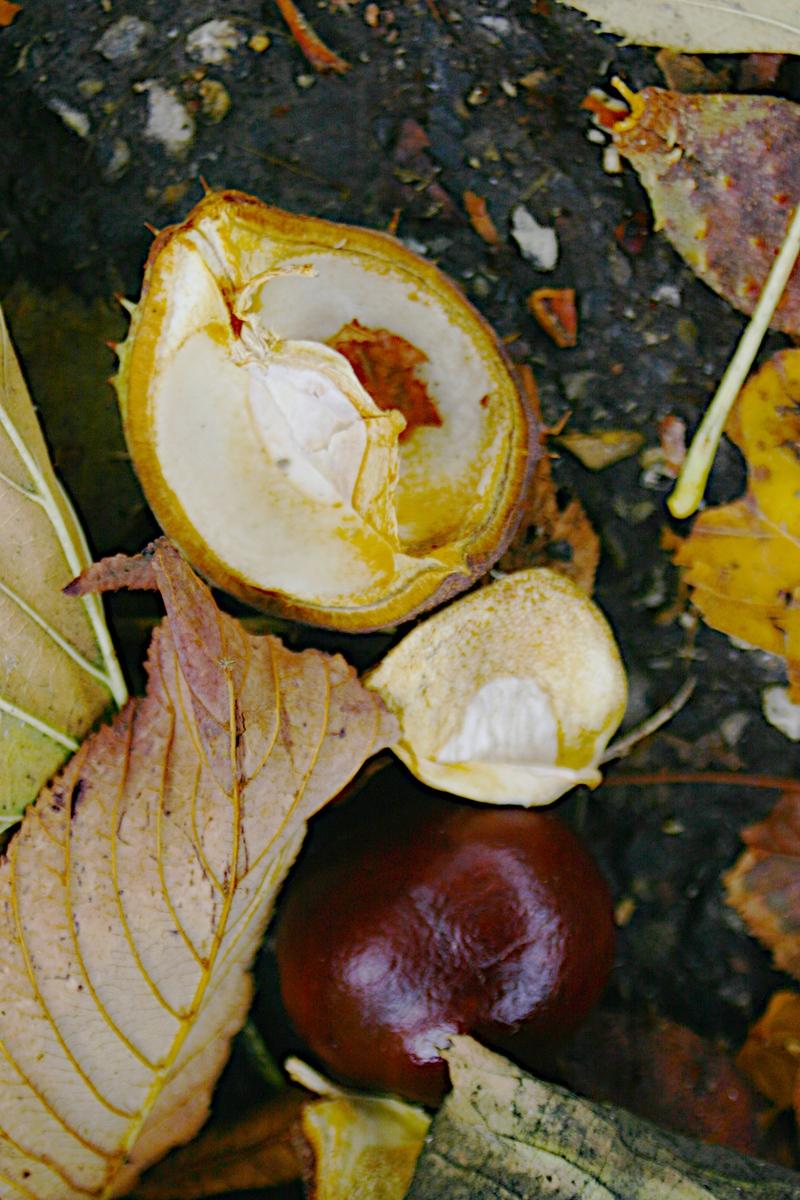 Fallen_chestnut