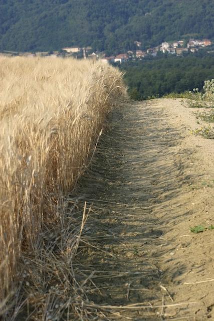 Wheat_field